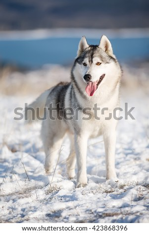 Husky winter standing in the snow - stock photo