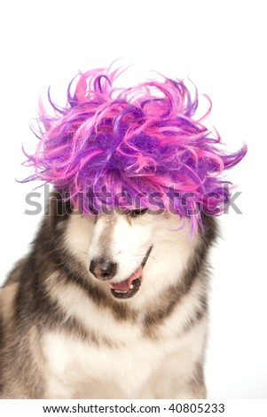 Husky with a purple wig