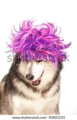 Husky with a purple wig - stock photo