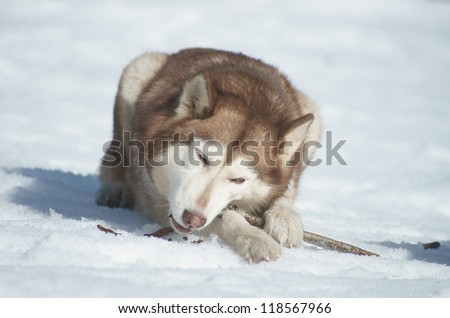 Husky with a stick in the snow