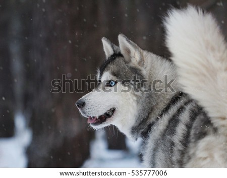 Husky with blue eyes in the wood