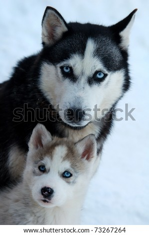 husky with young - stock photo