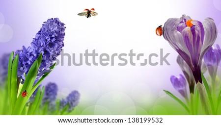 Hyacinth and Crocus with ladybugs - stock photo