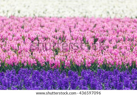 Hyacinth. Beautiful colorful pink, blue and white hyacinth flowers in spring garden, colorful floral background, flower fields in Netherlands.