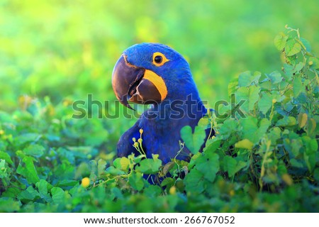 hyacinth macaw close up - stock photo