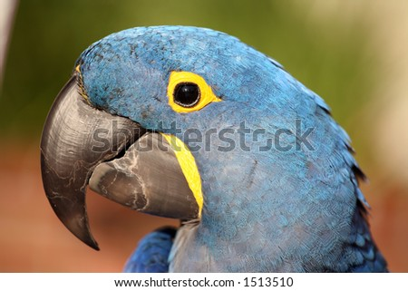 Hyacinth or blue macaw closeup of the head - stock photo