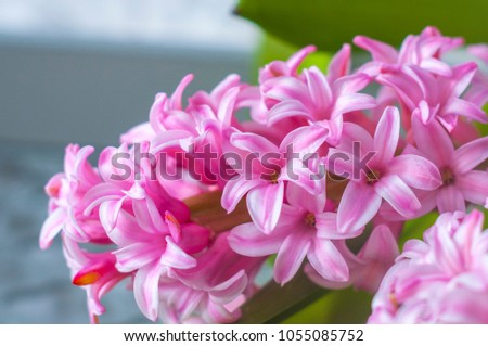 Hyacinth pink flower spring flower perfume stock photo 1055085752 hyacinth pink flower spring flower the perfume blooming spring closeup texture mightylinksfo Gallery