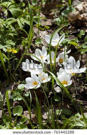 Hyacinths Apothecary Garden Moscow Stock Photo (Royalty Free ...