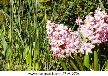 Hyacinths blooming in the spring garden, floral  background - stock photo