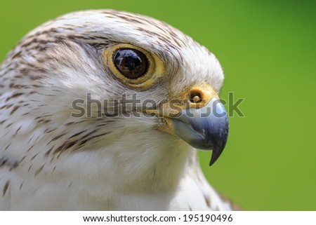 hybrid Saker Falcon and Gyrfalcon close up