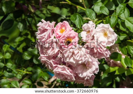 hybrid tea roses. Tea rose. a garden rose with flowers that have a delicate scent said to resemble that of tea.  A medium pink cluster-flowered hybrid tea that blooms repeatedly. - stock photo