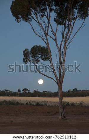 Hyden Australia, rising moon over wheat fields with silhouetted gum tree