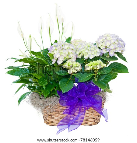 Hydrangea and peace lily flower sympathy arrangement isolated on white - stock photo