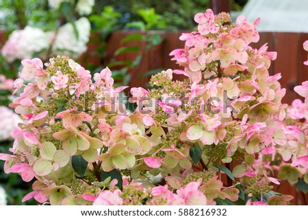 Hydrangea bush large pink caps flowers stock photo image royalty hydrangea bush with large pink caps of flowers mightylinksfo