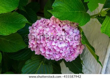 Hydrangea common names hydrangea or hortensia (Hydrangea macrophylla). - stock photo