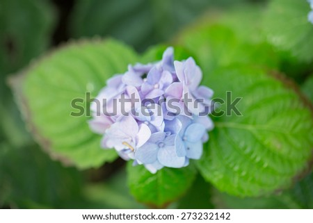 hydrangea flower - stock photo