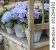 hydrangea. Flower in flower`s shop . Summer time. Flowers standing on the wood bench - stock photo