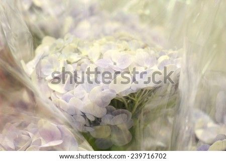 hydrangea,  flower shop in market , pink lily with plastic cover background in flower shop , export business background,  - stock photo