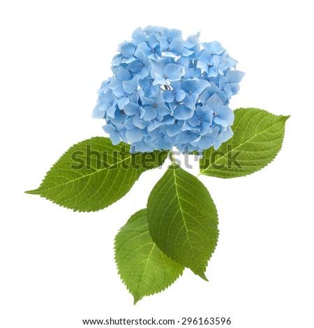 hydrangea flowerhead - stock photo