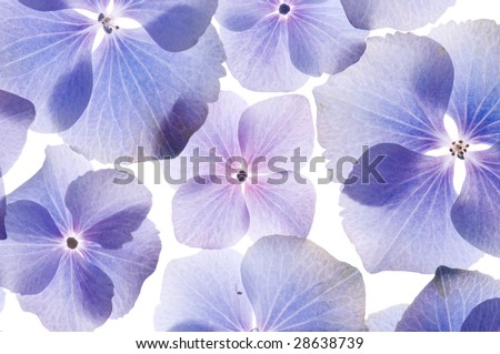 Hydrangea flowers background - stock photo