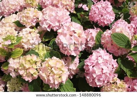 hydrangea garden flowers - stock photo