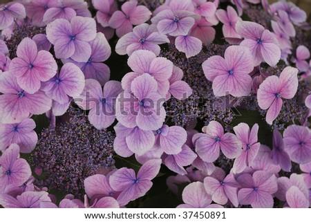 Hydrangea macrophylla - stock photo
