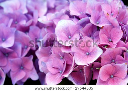 "Hydrangea macrophylla, know as ""Hortencia"" flower detail - stock photo"