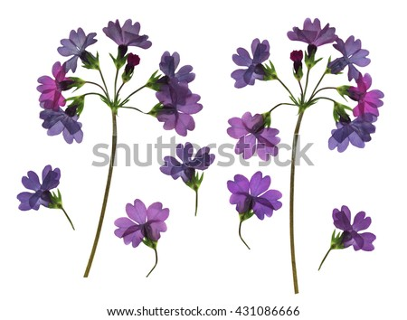 Hydrangea perspective, dry delicate flowers and petals, isolated on scrapbook background, blue and purple colored pressed branch. - stock photo