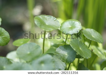 hydrocotyle background (Water Pennywort , Centella asiatica). green background of hydrocotyle leaf