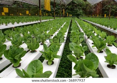 Hydrophonic Plantation at Cameron Highlands, Malaysia - stock photo