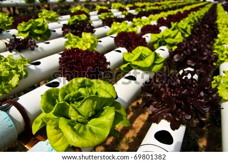 Hydroponic vegetable farm in Jim Thom Son farm, Thailand. - stock photo