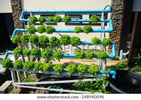 Hydroponic vegetable (Green Oak)  - stock photo