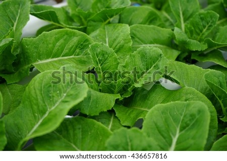 Hydroponic vegetable planting , Organic vegetable farms , Fresh green salad , healthy life concept - stock photo