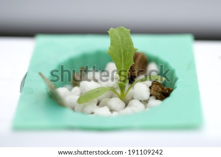 Hydroponic vegetables growing in greenhouse. - stock photo