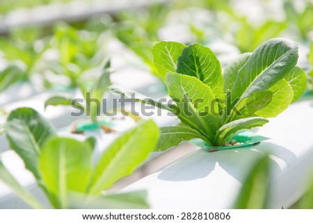 Hydroponics vegetable farm,close up of Lettuce Crop Lactuca Leaf Vegetable - stock photo