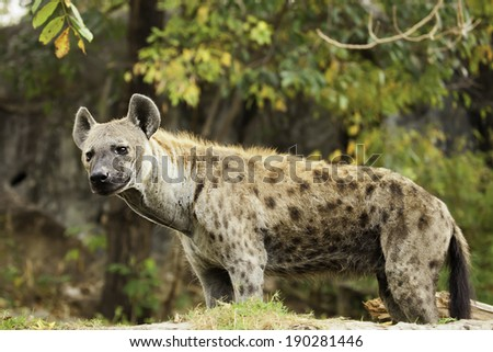 Hyena in the wild under the trees.