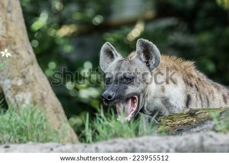 Hyena Powerful Jaws - stock photo