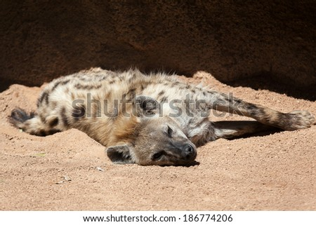Hyena resting - stock photo