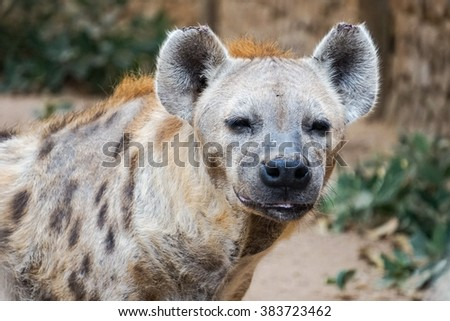 Hyena stares at the potential prey