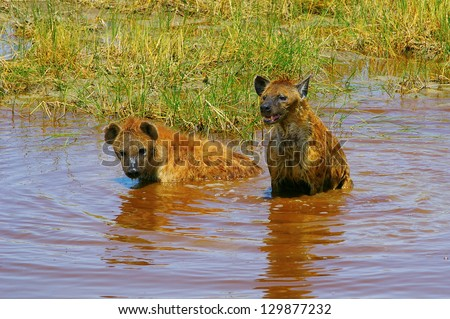 Hyenas cooling in a pond - stock photo