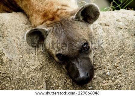 Hyenas in safari zoo, Thailand - stock photo