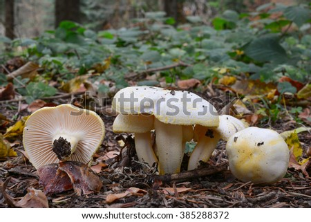 Hygrophorus chrysodon mushrooms, or Gold flecked woodwax mushrooms in autumn mountain forest - stock photo