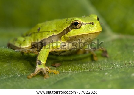 Hyla arborea - stock photo