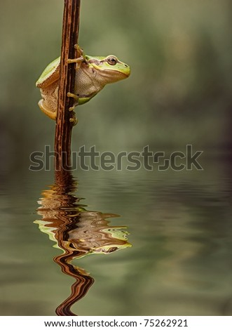 Hyla Arborea (green treefrog) above water with a nice reflection - stock photo