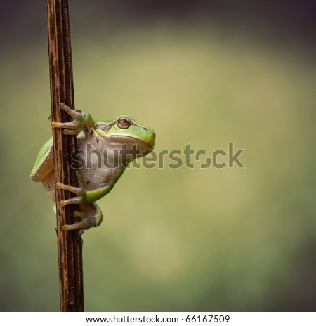 Hyla Arborea (green treefrog) ready to make a giant leap to his habitat - stock photo