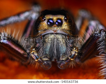 Hyllus diardy Biggest jumping spider in the world, 40mm leg span - stock photo