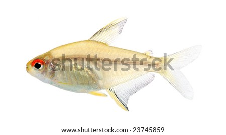 Hyphessobrycon bentosi fish in front of a white background - stock photo
