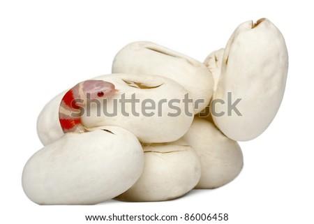Hypomelanistic milk snake or milksnake, lampropeltis triangulum hondurensis, 16 minutes old, in front of white background - stock photo