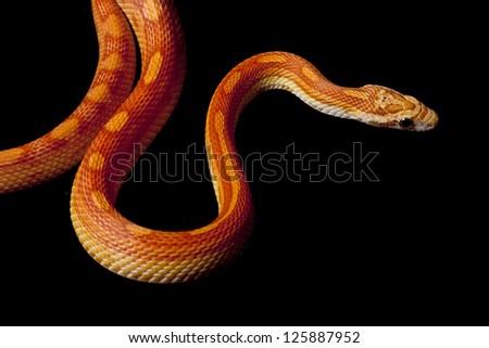 Hypomelanistic motley corn snake (Elaphe guttata guttata) isolated on black background. - stock photo