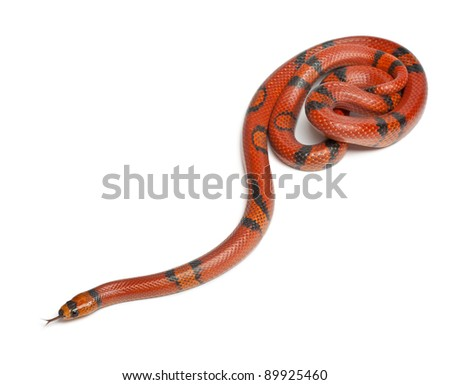 Hypomelanistique Honduran milk snake, Lampropeltis triangulum hondurensis, in front of white background - stock photo